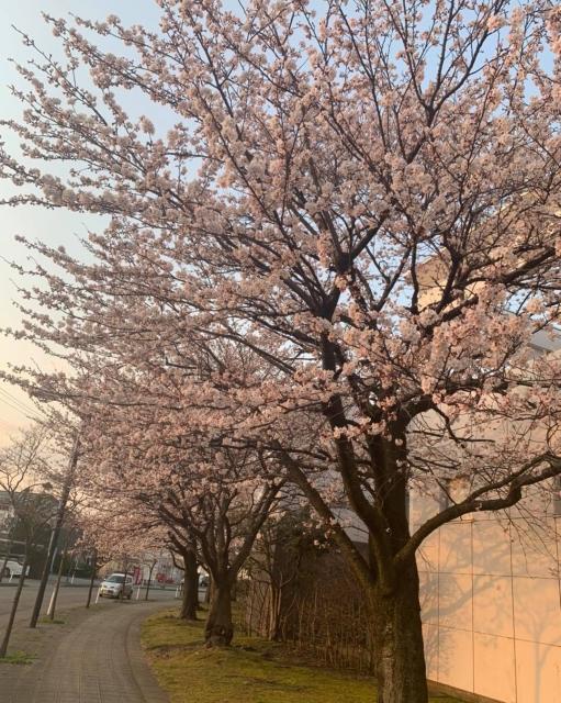 鶴岡の桜🌸開花宣言‼️